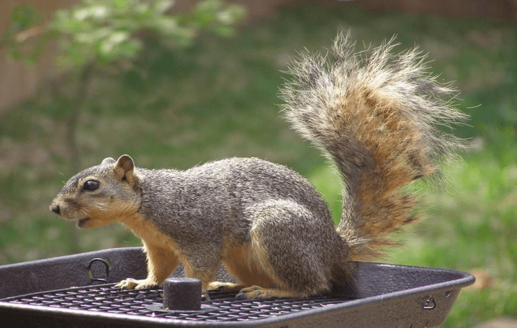 cedar double seated cob feeder